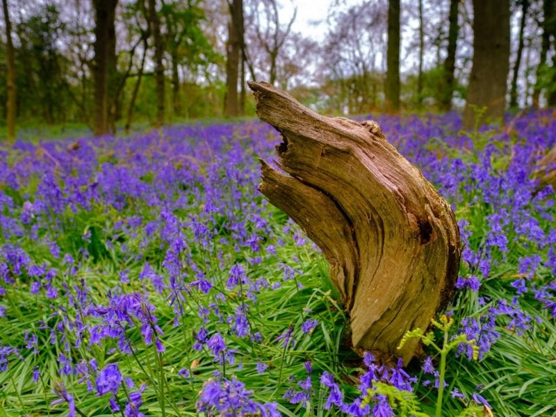 landscapes bluebells